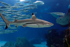 Lisbon Oceanarium shark Stock Photo
