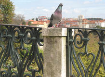 Lisbon Pigeon. Pigeon around the belvedere S.Pedro de Alcântara, City of Lisbon, Portugal,E.U Stock Image