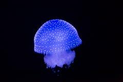 Lisbonne Oceanarium - méduse Blanc-repérée 2 Photo stock