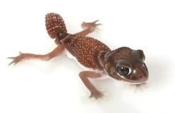 Lisci il Gecko Perno-munito Fotografie Stock Libere da Diritti