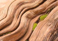 Lisci la radice consumata con muschio che cresce in crepa Fotografia Stock