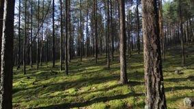 Liscio passando il muschio attraverso la foresta diluita nel colpo di giorno soleggiato POV stock footage