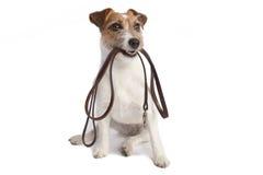 Liscivia della holding del terrier del Jack russell Immagini Stock Libere da Diritti