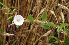Liseron de champ dans le domaine de blé Images libres de droits