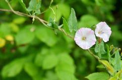 Liseron de champ de floraison dans un jardin Photos stock