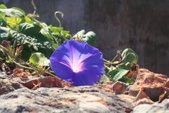 Liseron pourpre/matin Glory Flowers, Espagne Photos stock