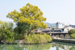 Lishui ancient street and camphor tree Stock Photo