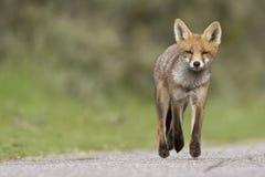lisiątka lisa mała czerwień Fotografia Stock