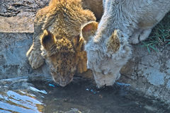 lisiątka pije lew wodę zdjęcie royalty free