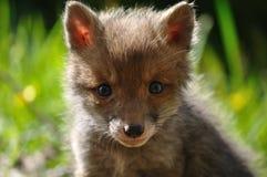 lisiątka twarzy lisa czerwień Fotografia Stock