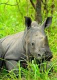 Lisiątko bielu nosorożec Zdjęcia Royalty Free