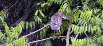 Lisiątko koronująca czapla na gałąź w lesie Fotografia Royalty Free