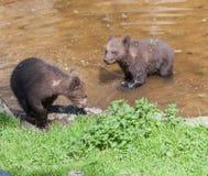 Lisiątko Niedźwiadkowy Skansenowski Parkowy Sztokholm Szwecja Zdjęcia Stock
