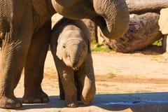 Lisiątko słoń fotografia stock