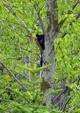 Lisiątko w drzewie zdjęcia stock