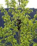 Lisiątko w drzewie fotografia royalty free