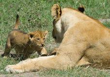 lisiątka Leo lwicy panthera Obrazy Royalty Free