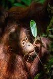 Lisiątko Bornean Orangutan w naturalnym siedlisku Obrazy Royalty Free