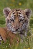 lisiątko tygrys Obrazy Royalty Free