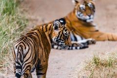 Lisiątko tygrysica Noor Obrazy Stock