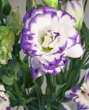Lisianthus. Or Eustoma - the flower from central America Stock Photos