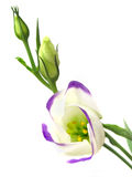 Lisianthus. Purple and white Lisianthum flower Royalty Free Stock Photo