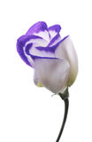 Lisianthus. Purple and white Lisianthum flower royalty free stock images