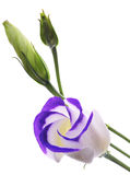 Lisianthus. Purple and white Lisianthum flower royalty free stock photos
