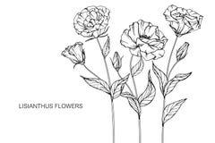 Lisianthus blommar teckningen och skissar med linje-konst Fotografering för Bildbyråer