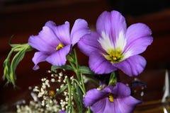 Lisianthus (Eustoma) Stock Fotografie