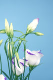 Lisianthus eustoma blue shadow Royalty Free Stock Photo