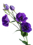 Lisianthus eustoma Royalty Free Stock Images