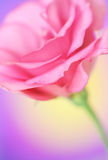 Lisianthus flower. Close-up of  lisianthus flower Royalty Free Stock Images