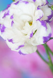 Lisianthus flower Stock Images