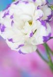 Lisianthus flower Stock Images