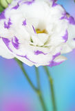 Lisianthus flower. Close-up of  lisianthus flower Stock Photo