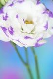 Lisianthus flower Stock Photo