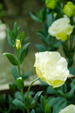 Lisianthus flower Royalty Free Stock Photos