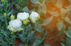 Lisianthus flower bed on day time. Image of white lisianthus flower bed on day time Royalty Free Stock Photos