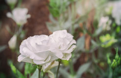 Lisianthus flower bed on day time. Image of white lisianthus flower bed on day time Royalty Free Stock Photo