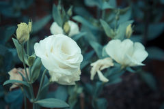 Lisianthus flower bed on day time. Vintage tone image of white lisianthus flower bed on day time Royalty Free Stock Images