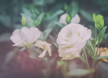 Lisianthus flower bed on day time. Vintage tone image of white lisianthus flower bed on day time Stock Photos