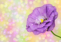 Lisianthus flower on defocused background Stock Image