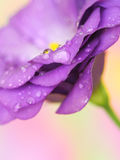 Lisianthus flower on pastel background Stock Image