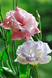 Lisianthus flowers. Pink and purple lisianthus flowers in garden Royalty Free Stock Photo