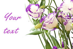 Lisianthus flowers. Beautiful purple-white flowers on white lisianthus Stock Photography