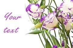 Lisianthus flowers Stock Photography