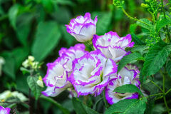 Lisianthus flowers in the garden shy. With big purple petals as soft white young woman in a flower garden blooming beautiful Royalty Free Stock Photo