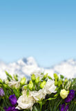 Lisianthus flowers in mountains. White and violet lisianthus flowers in mountains Royalty Free Stock Images