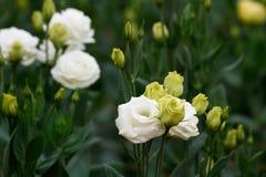 Lisianthus (rose de blanc) Images libres de droits